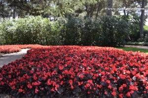 Flor de azucar roja en macizo