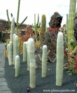 formas columnares en el Jardín de Cactus de César Manrique en Lanzarote-Islas Canarias.