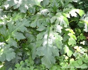 Acanthus detalle follaje profundamente lobuladas, de color verde oscuro y brillantes.