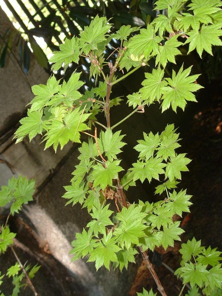 "Acer palmatu ""Aureum"" follaje color verde claro y forma."
