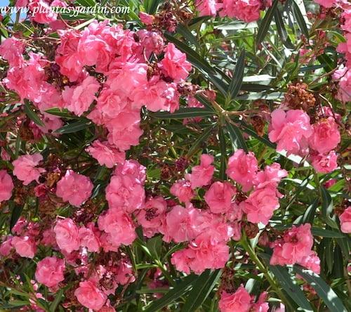 Adelfa de flor doble y color rosa.