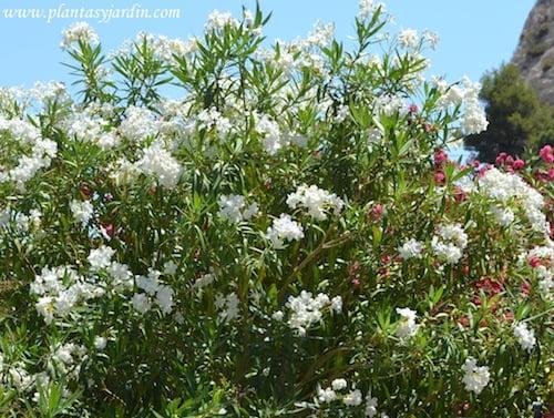 Adelfa de flor simple y de color blanco.