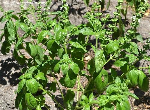 """Albahaca """"Hoja grande""""-Ocimum basilicum."""