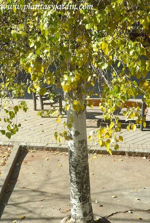 Betula pendula, tronco color plateado.