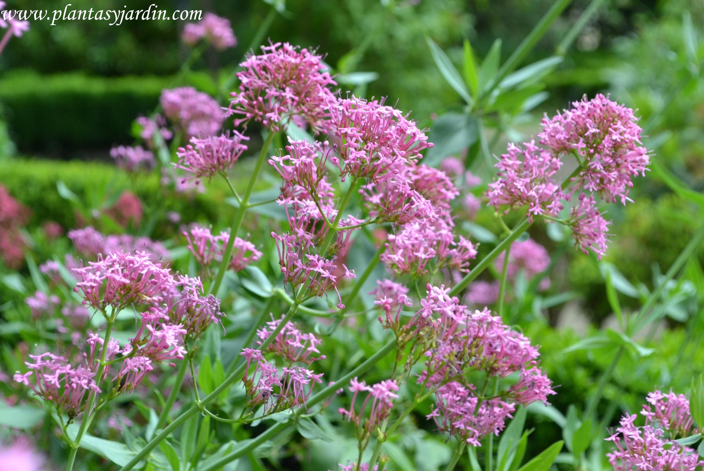 Centrathus ruber-Milamores, detalle de floración en primavera.
