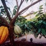 Biomo tropical. Theobroma cacao-Árbol del chocolate. Foto: edenproyect.com
