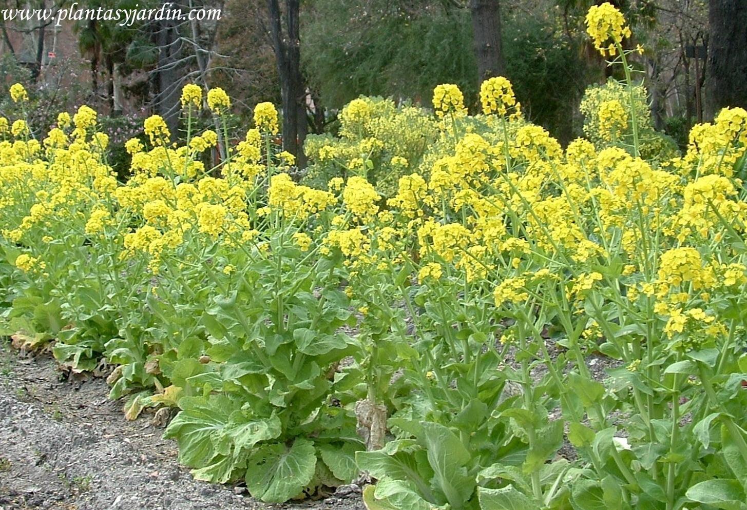 cultivo de Col china, en flor, durante el verano.
