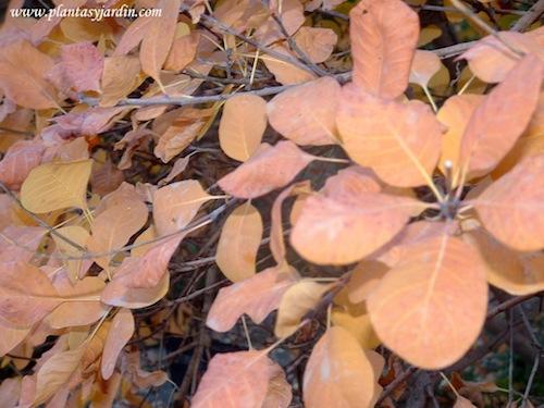 "Cotinus coggygria ""Purpurea"", detalle de follaje, en otoño."