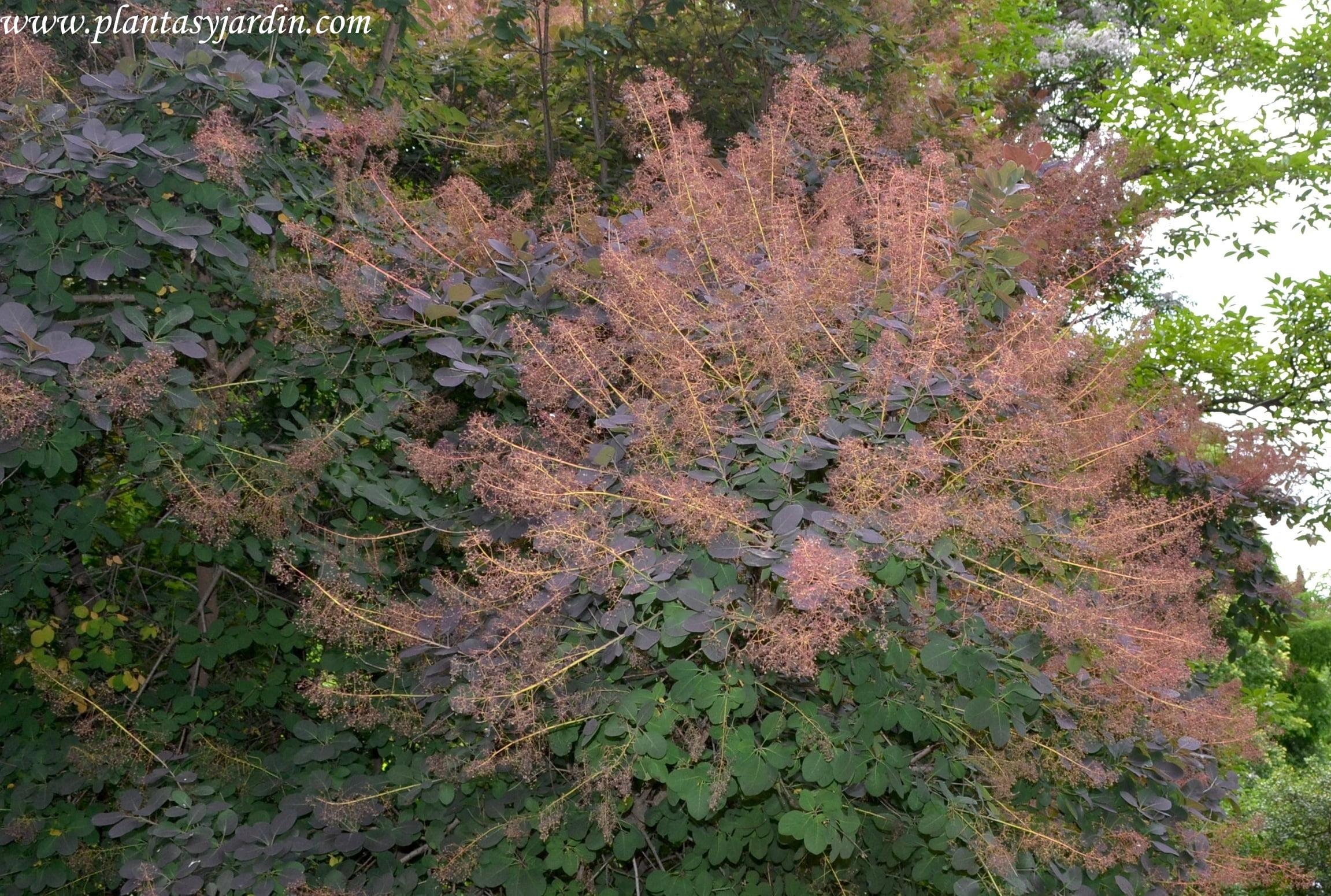 """Cotinus coggygria """"Purpurea"""" florecido a finales de la primavera."""