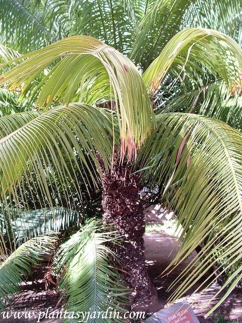 Cyca circinalis- Palma Helecho