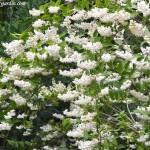Deutzia scabra con una abundante y atractiva floración primaveral