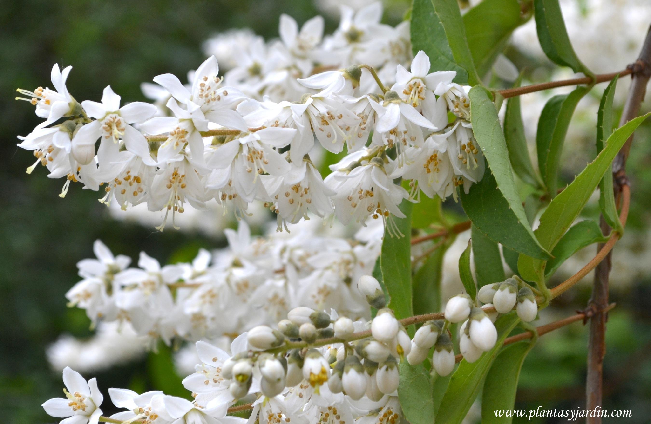 Deutzia scabra detalle floración.