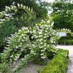 Deutzia scabra nativa de China, florecida en primavera.