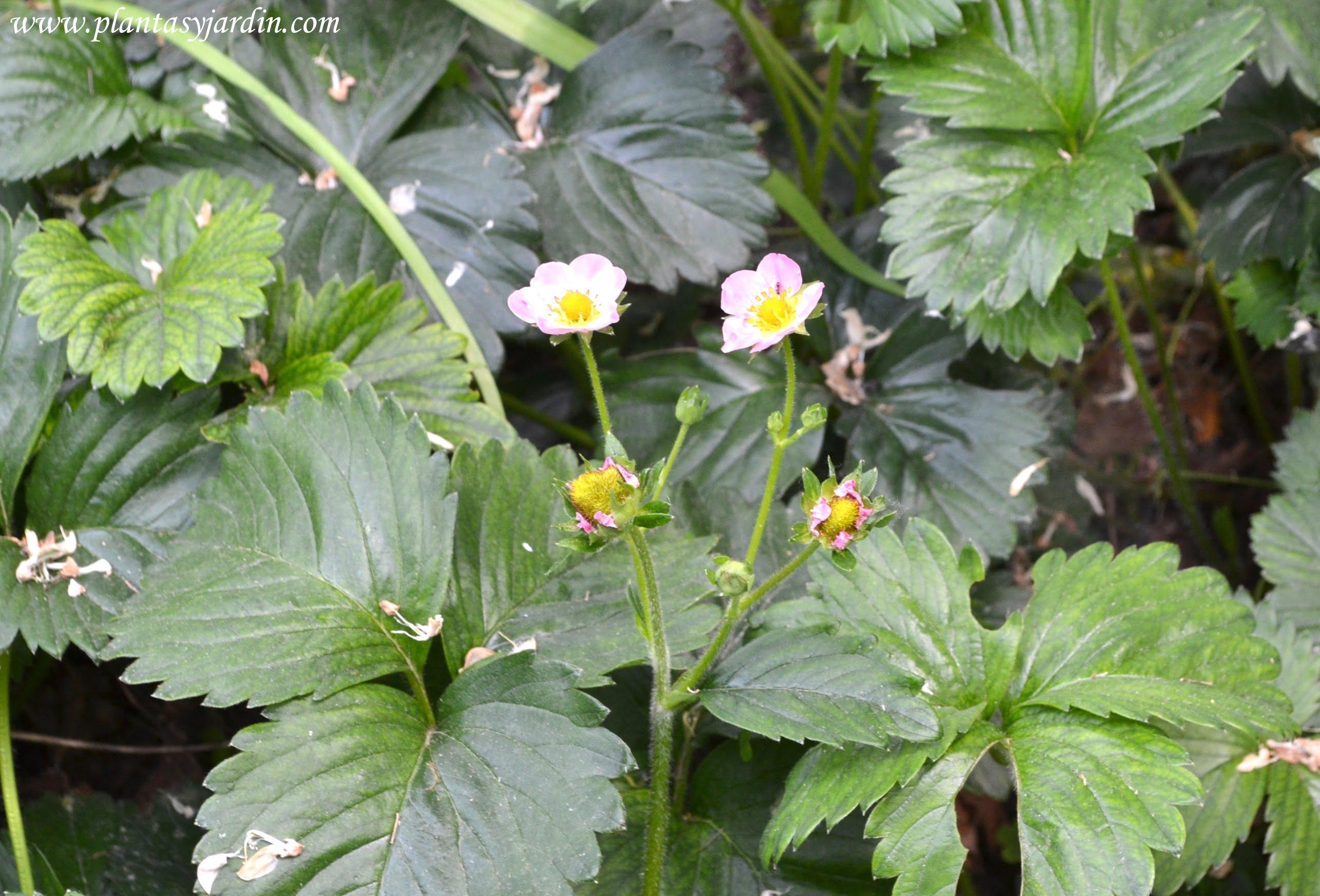 Fresa-Fragaria x ananassa, de florcitas rosas, con el fruto de la fresa en la planta.
