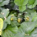 Fresa-Fragaria x ananassa, detalle de fresas aún verdes en la planta a comienzos de la primaver