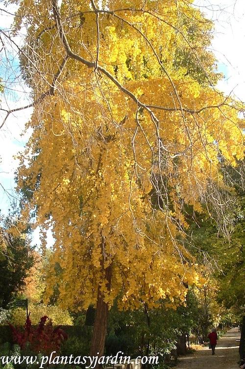 Ginkgo biloba, amarillo dorado, en otoño.