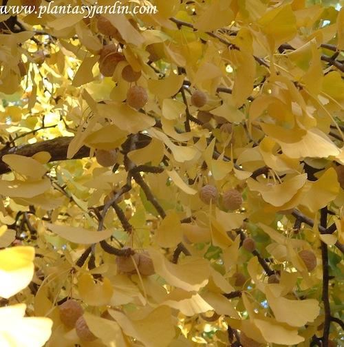 Ginkgo biloba, inflorescencia en conos & follaje amarillo dorado en otoño.