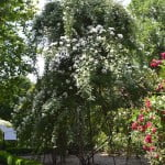 La Mortola, Italia. Ejemplar destacado del Rosedal del Real Jardín Botánico de Madrid.