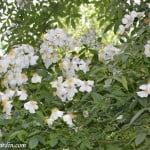 La Mortola, florecida en la primavera.