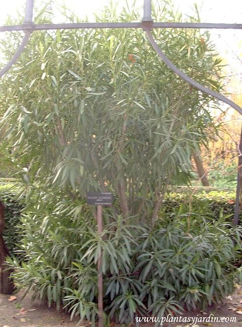 Nerium oleander-Adelfa en invierno.