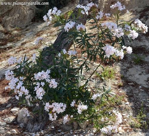 Nerium oleander de flor blanca.