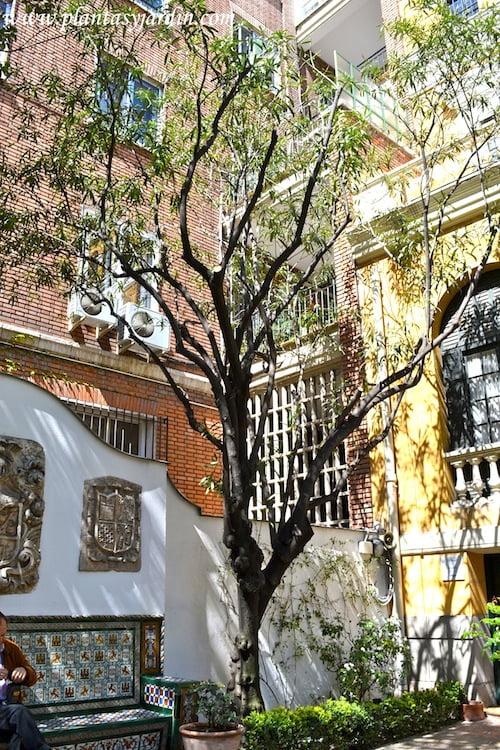 Adelfa, ejemplar centenario plantado por Joaquin Sorolla en su casa museo de Madrid