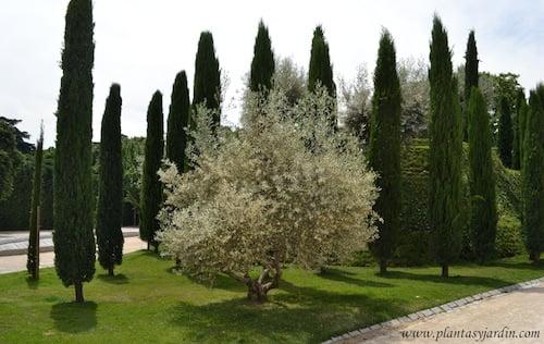 Olea europaea y Cupressus sempervirens, contrastes de colores, texturas y formas.
