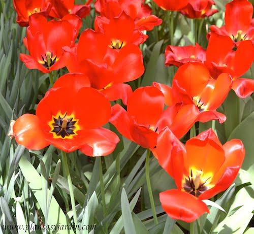 "Paeonia lactiflora ""Argentine"" detalle de flor"