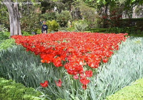 """Paeonia lactiflora """"Argentine"""" en parterre"""