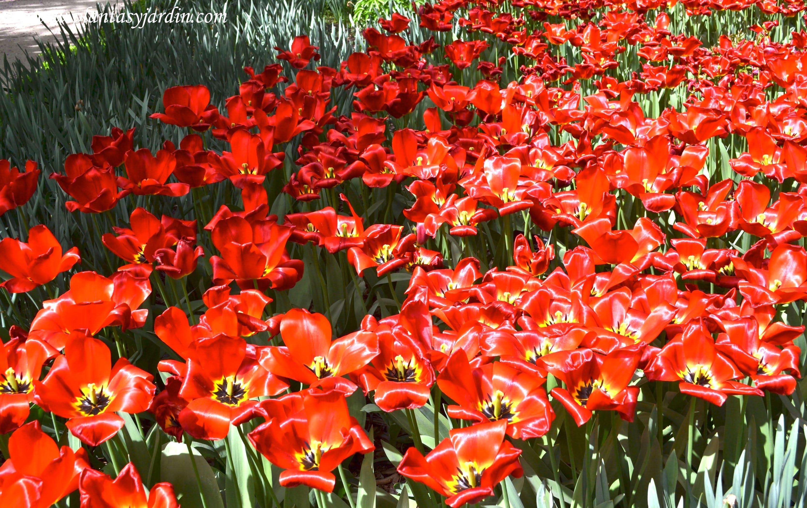 """Paeonia lactiflora """"Argentine"""" florecida a comienzos de la primavera."""