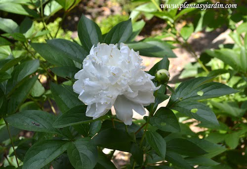 "Paeonia lactiflora ""Baroness Schroeder"", detalle flor"