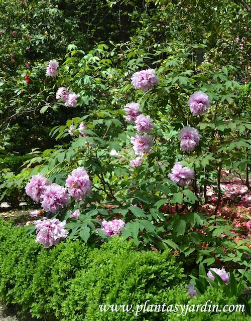 Paeonia suffruticosa-Paeonia arbustiva, florecida a comienzos e la primavera