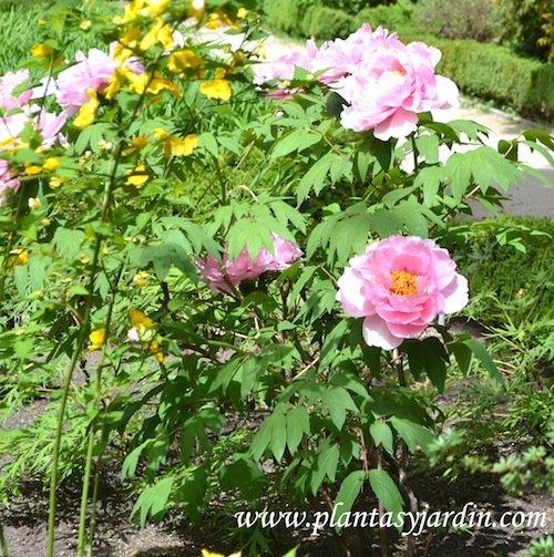 Paeonia suffruticosa-Peonia arbustiva