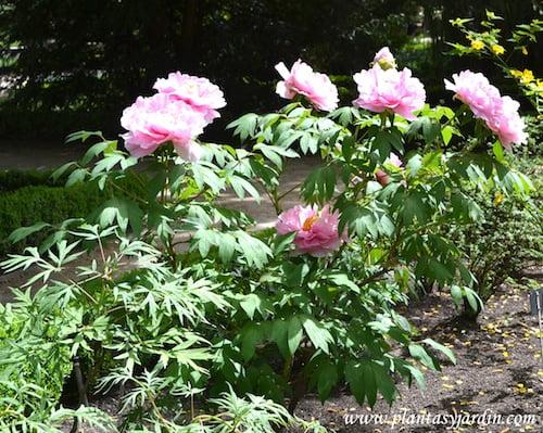 Paeonia suffruticosa en flor a comienzos de la primavera, nativa del noroeste de China.