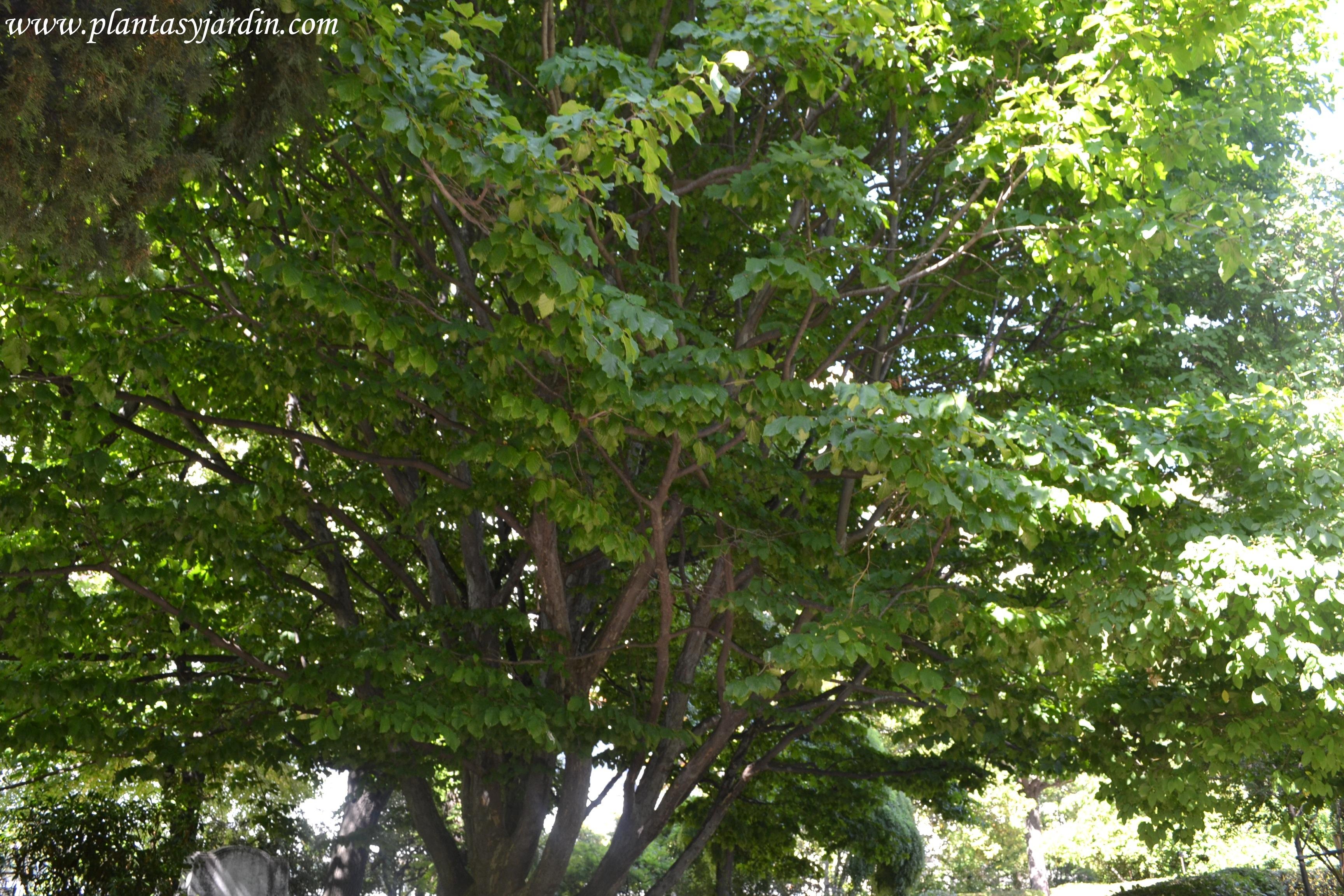 Parrotia persica-Árbol de hierro, detalle de la extensión de la copa.