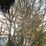 Parrotia persica-Árbol de hierro, en invierno.