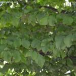 Parrotia persica-Árbol del hierro, detalle del follaje en verano