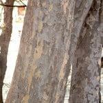 Parrotia persica, detalle tronco.