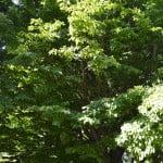 Parrotia persica en verano.