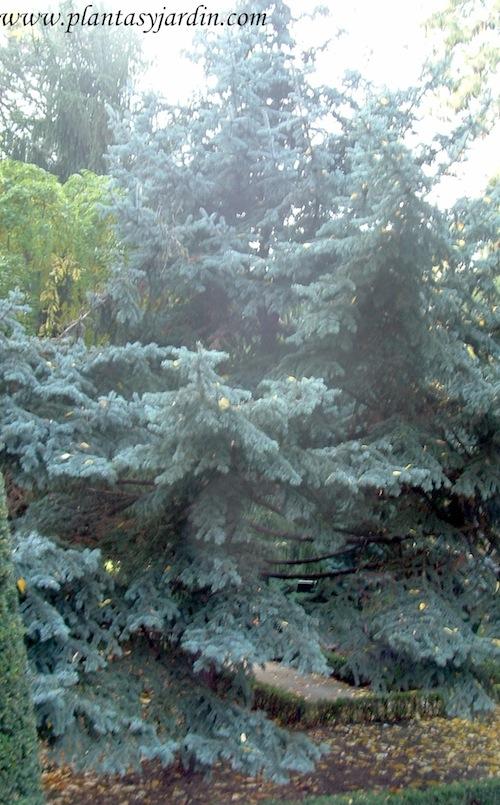 Picea pungens, follaje verde azulado.