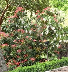 """Pieris formosa """"Wakehurst"""" follaje con brotes rojos en primavera."""