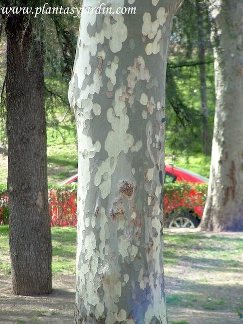 Platanus, detalle de tronco veteado.