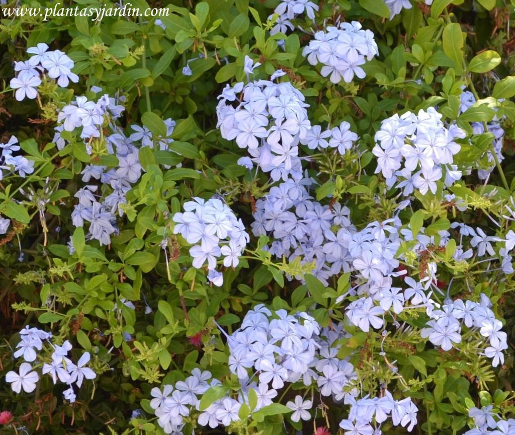 Plumbago-Celestina, detalle de floración.