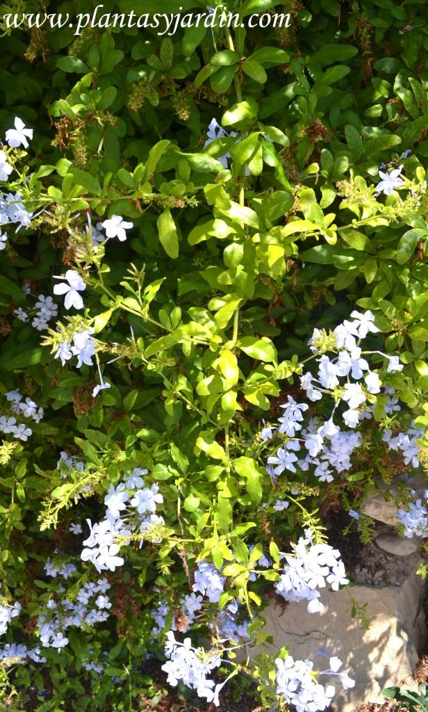 Plumbago-Jazmín azul, detalle de tallos lignificados.