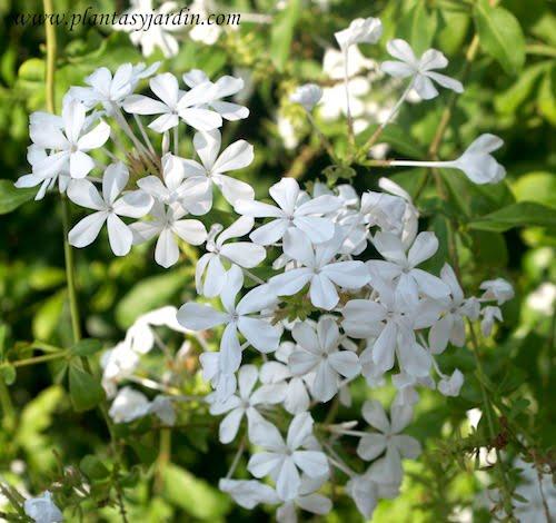 Plumbago capensis Alba detalle flor en verano
