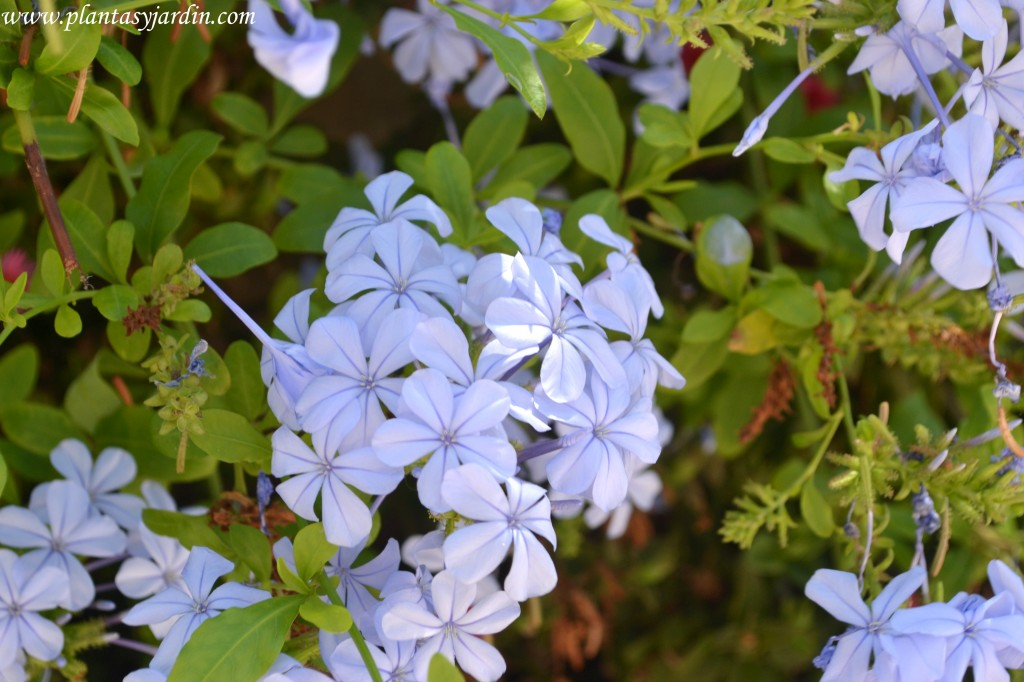 Plumbago capensis-Jazmín azul, detalle de flores en verano