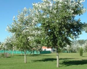 Populus alba follaje color glauco en el haz y tronco plateado.
