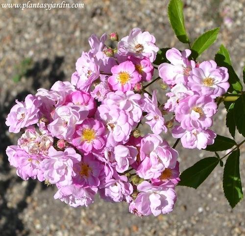 Prince Jean de Luxembourg, detalle de floración y hojas. Polyantha