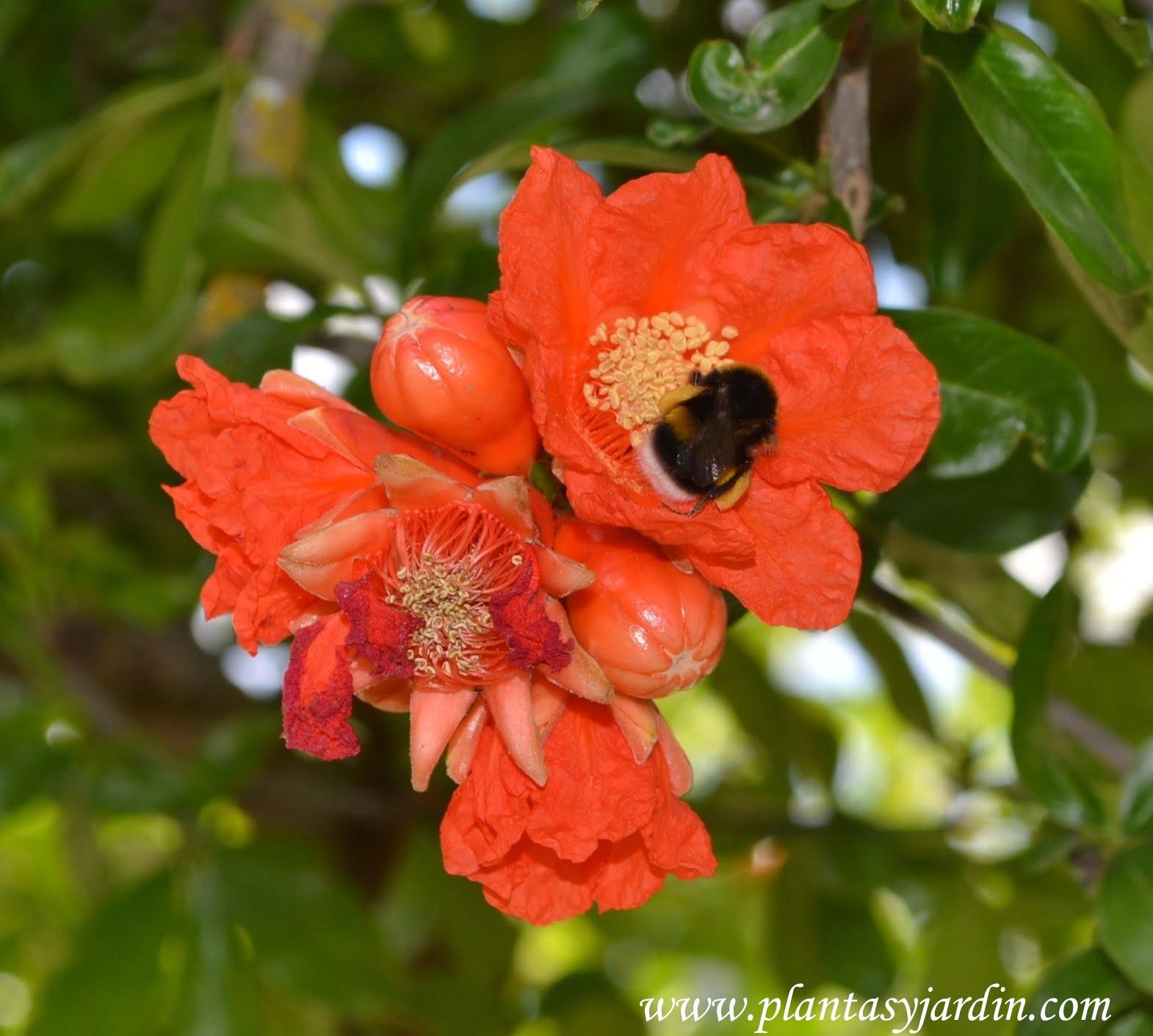 Punica granatum-Granado, la flor siendo polinizada por una abeja en plena primavera.