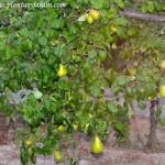 Pyrus communis, detalle de follaje con fruto aún no maduro.